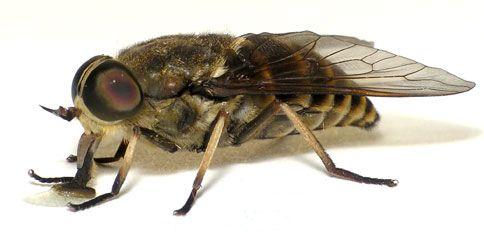 H-TRAP Bremsenfalle Insektenfalle Fliegenfalle Bremsenbekämpfung Weide Pferd