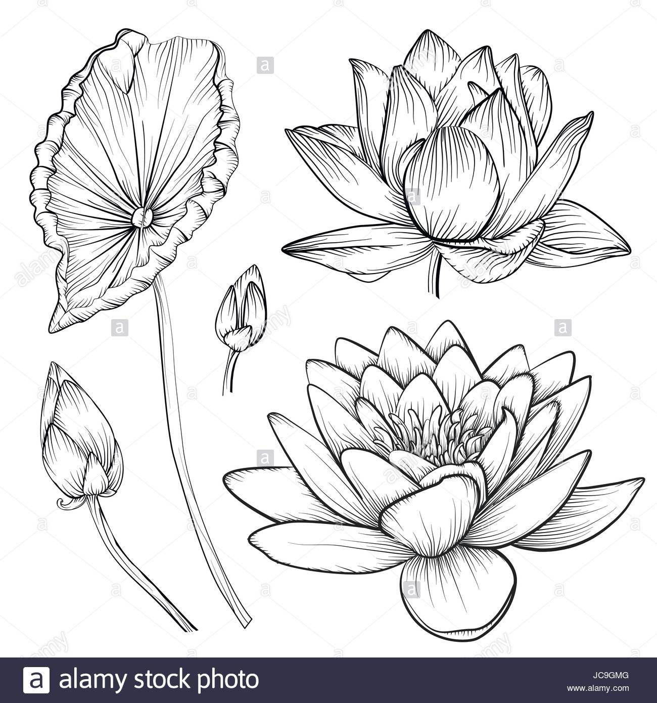 Download this stock vector Lotus water lily vector