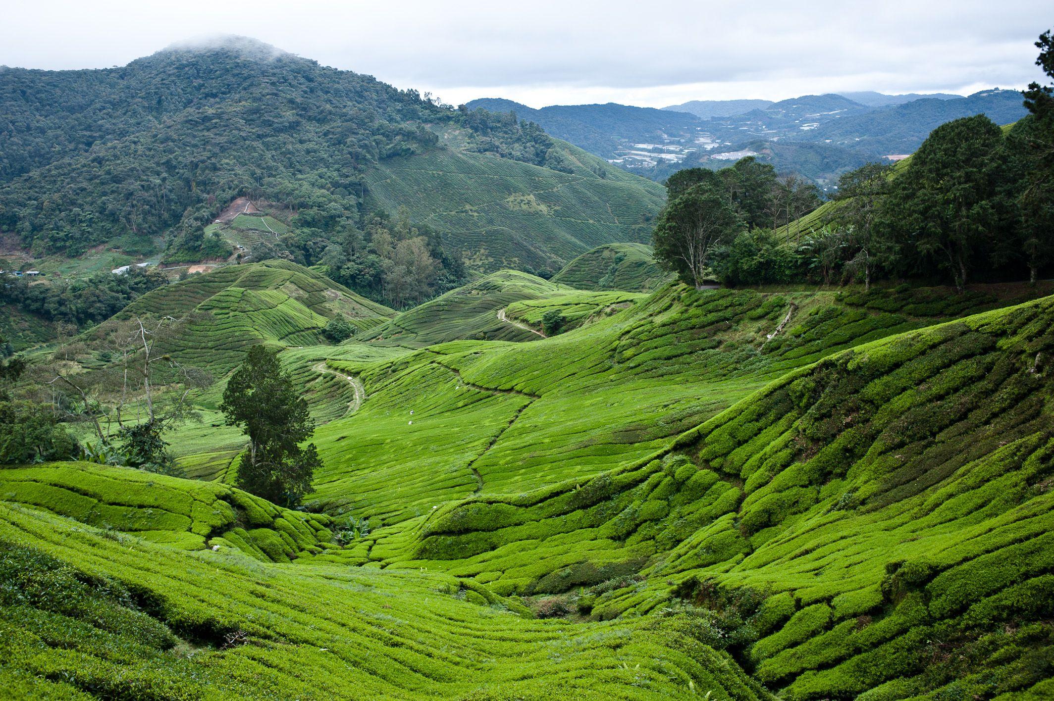 Malaysia Tea Hills in Cameron Highlands