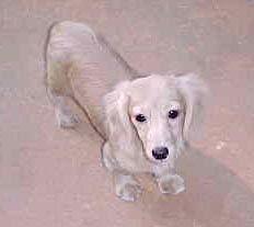 Pearl Ee Cream Lh Mini Dachshund Puppy Dachshund Puppy Mini Dachshund Dachshund