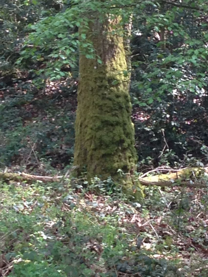 A Spirit Tree of the sacred forest of Broceliande, Britany, France. The forest of the Holy Graal, Merlin and the King Arthur