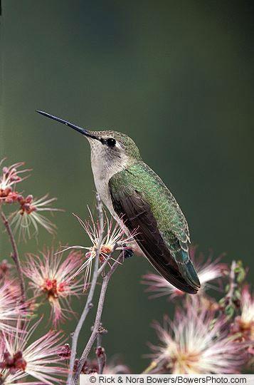 Female Costa's Hummingbird - Introduction | Birds of North ...