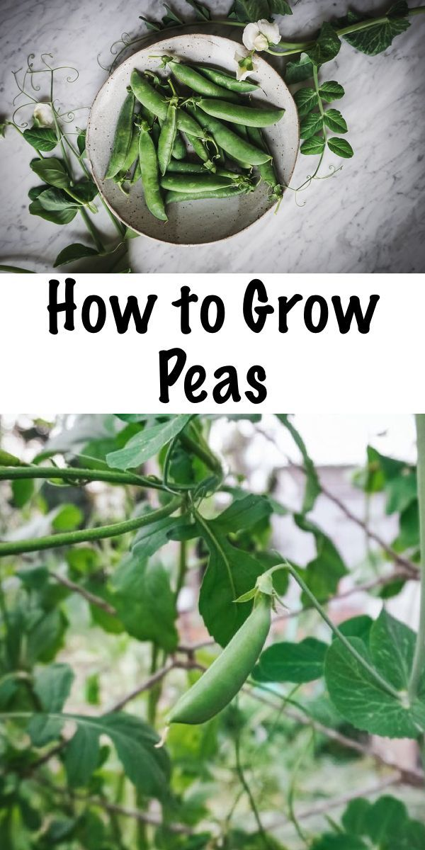 Complete Guide to Growing Peas #anbauvongemüse