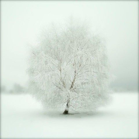 The Silver Birch  Laserprint  24x24 by vaqueyVisions on Etsy, €590.00