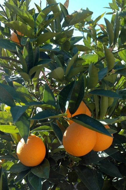 How To Keep Your Citrus Trees Well Fed And Healthy Ripe For Some Citrus Fertilizer Know How This Mini Guide Will He Citrus Trees Grapefruit Tree Fruit Garden