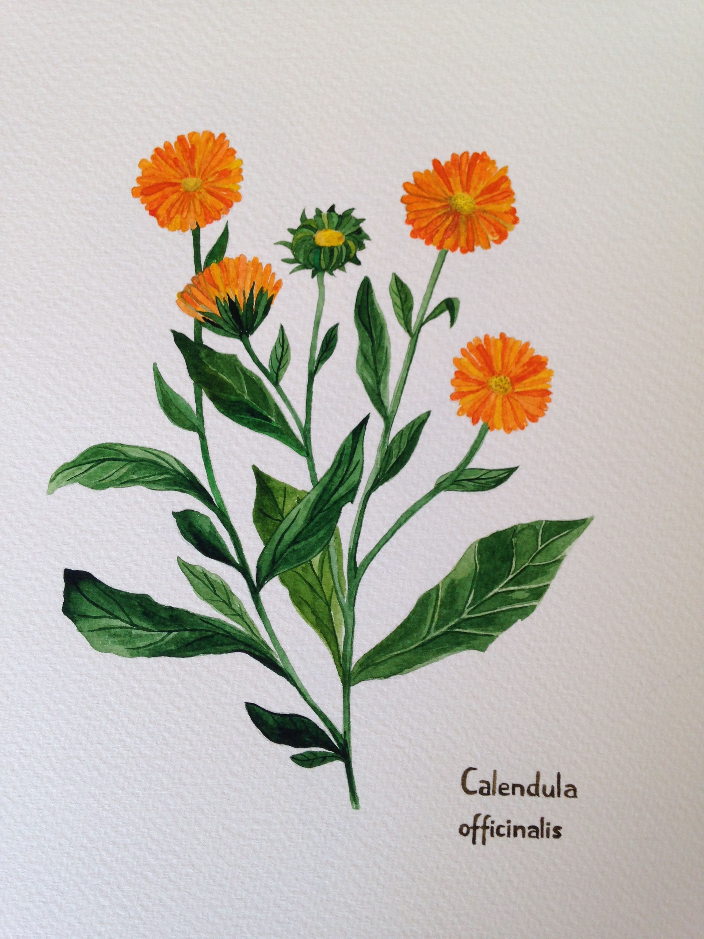 calendula officinalis nagietek lekarski watercolor painting 18x24cm. Black Bedroom Furniture Sets. Home Design Ideas