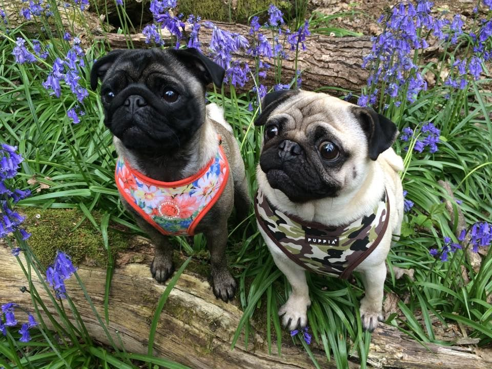Puppia Harness S At Www Ilovepugs Co Uk Post Worldwide Pug Mania