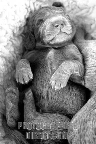 Long Haired Weimaraner Puppy Stock Photo Weimaraner Puppies