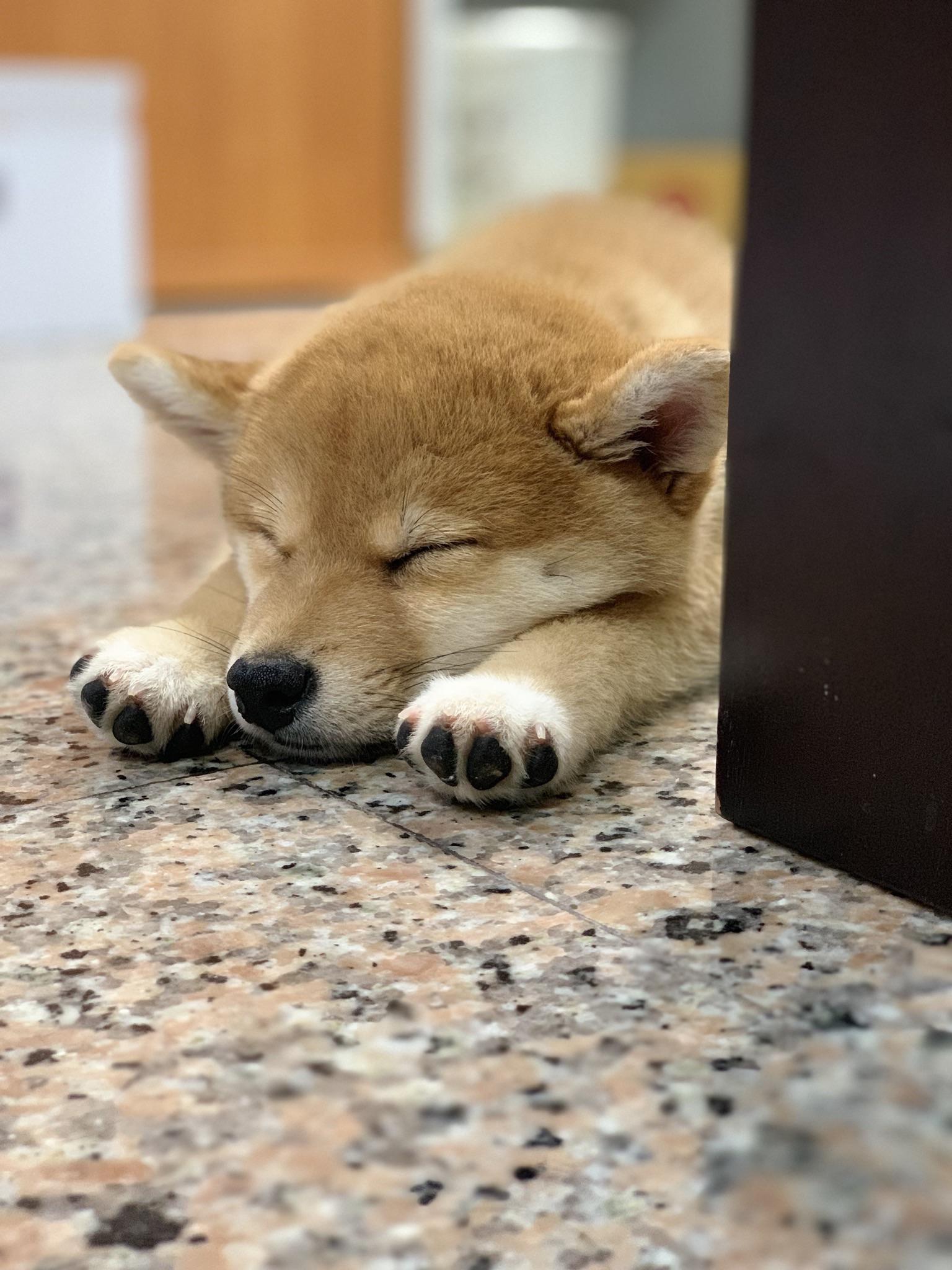 A sleeping shiba is the cutest thing ever shibainu