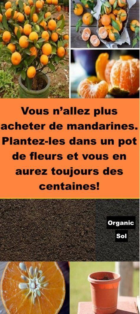 Vous navez pas Besoin dAcheter de Mandarines ! Plantez-Les Dans un Pot de Fleurs Pour En Avoir un Stock Illimité.