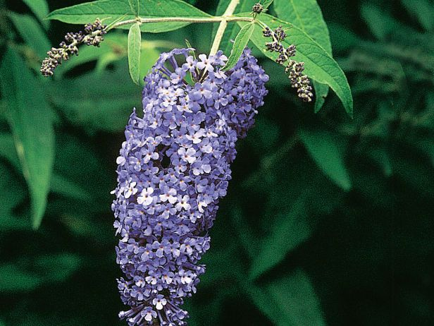 Buddleja Davidii Empire Blue Is A Large Butterfly Bush Variety With Arching Branches Lance Shaped Leaves And Panic Butterfly Bush Blue Plants Blue Flowers