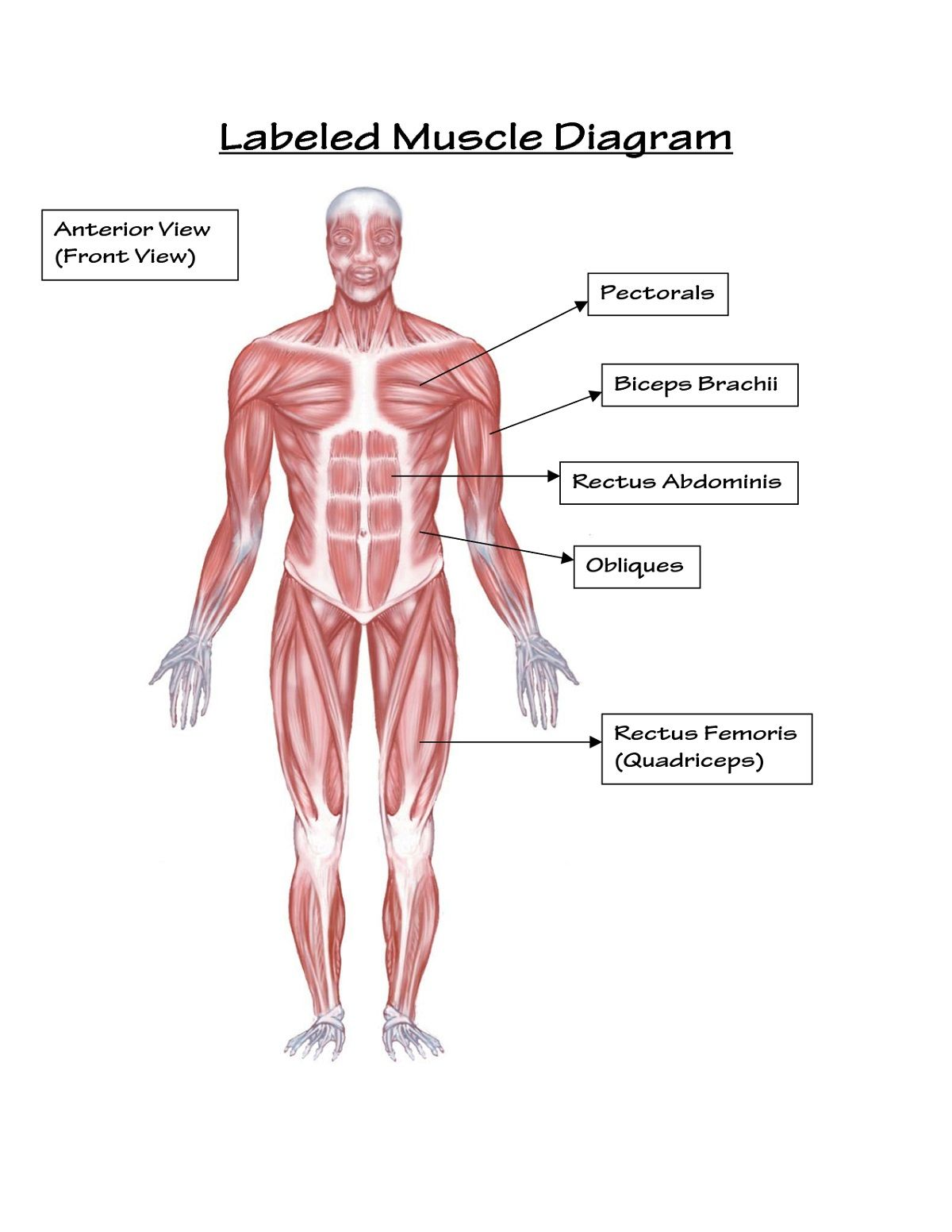 The Muscular System Labeled