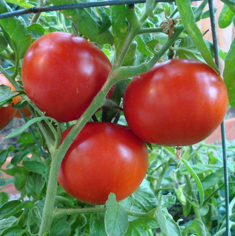 we garden harvest supply also guarantee them to arrive healthy and ready to plant we stand behind that with a satisfaction guarantee - Garden Harvest Supply