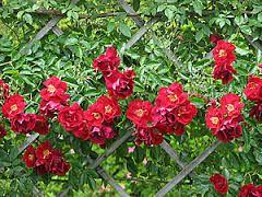 Resultado de imagem para jardins de rosa