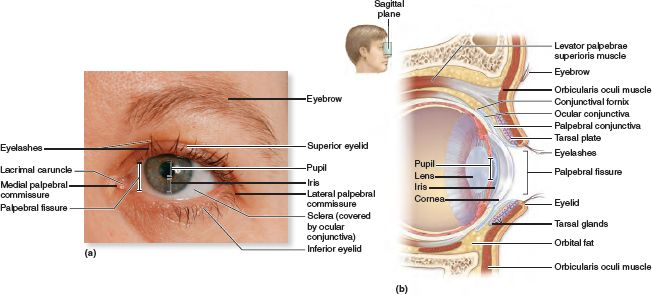 External Anatomy Of The Eye And Surrounding Accessory Structures A