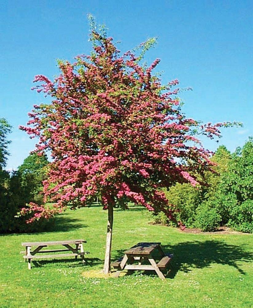 Kup Teraz Na Allegro Pl Za 35 90 Zl Glog Dwuszyjkowy Paul S Scarlet Nawoz 7785423260 Allegro Pl Radosc Zakup Hawthorn Tree Deciduous Trees Garden Gifts