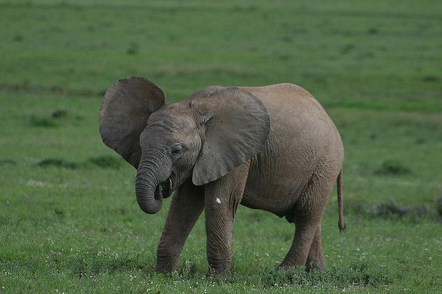 9 Of The Cutest Endangered Animal Babies Cute Endangered Animals Baby Elephant Elephant