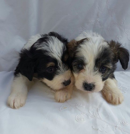 Colliepoo Puppies For Sale Puppies For Sale Puppies South