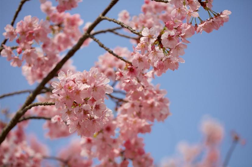 Sakura Cherry Blossom Japan Www Flickr Com Photos 18percentsgray Sakura Cherry Blossom Blossom Cherry Blossom