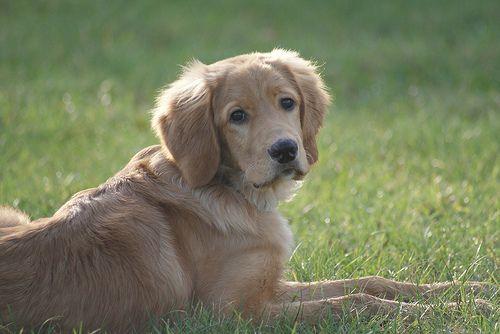 Dsc09577 Hovawart Hunde Tiere