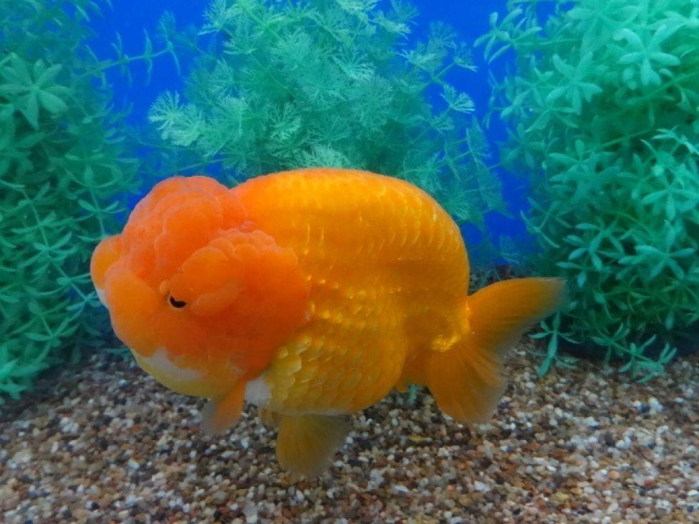 Jumbo Goldfish   196 Best Goldfish Auctions Images On Pinterest Auction Goldfish