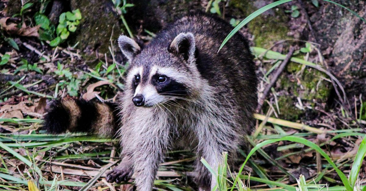 Nuisance Pest Raccoon Control Raccoon Wildlife Animals