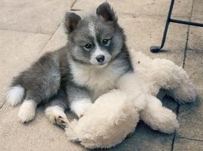Pomsky Zuchter Hundewelpen Kaufen Verkaufen Pomsky Puppies