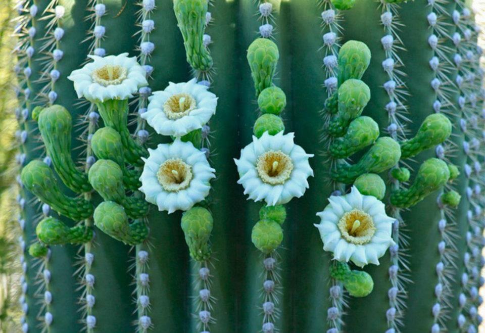 Saguaro flower ♣ Fleur de cactus Saguaro | Fleur de cactus ...