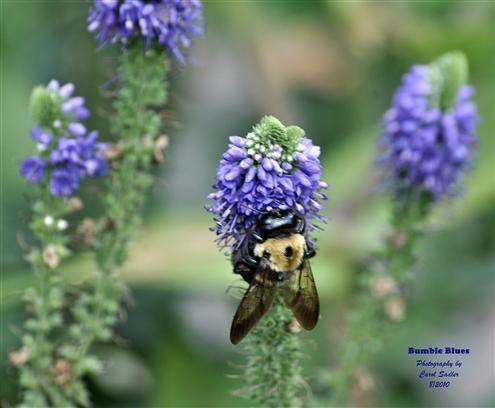 """Bumble Blues"" - Photo Contest - National Wildlife Federation"