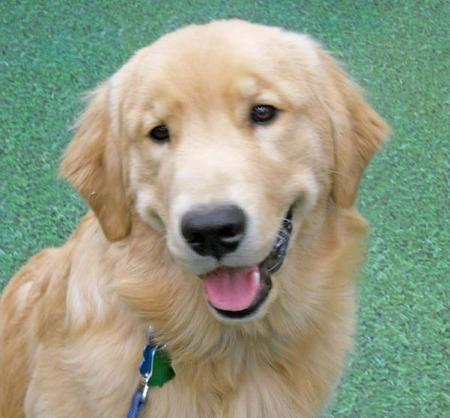 Handsome Golden Retriever Puppy Dog Wearing A Plaid Bow Tie