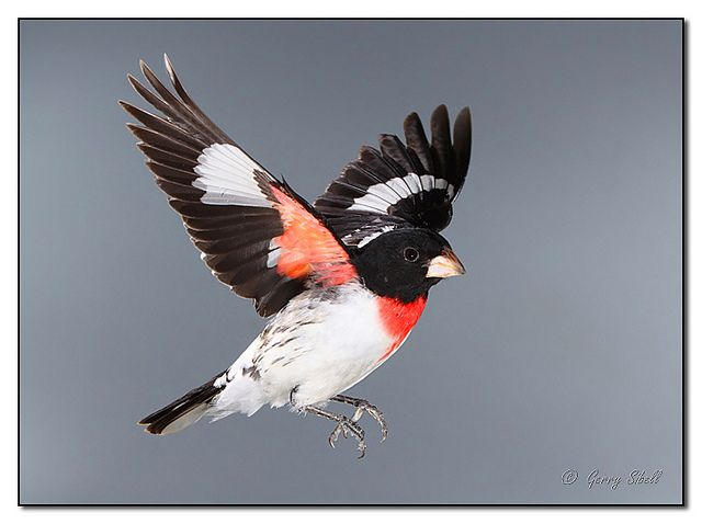 Rose Breasted Grosbeak In Flight Flickr Fotosharing