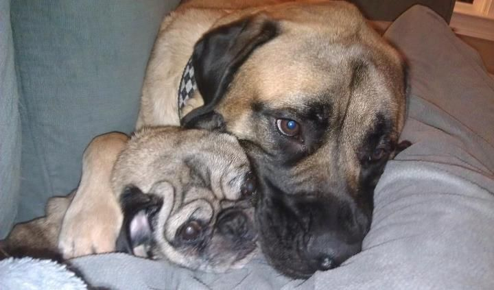 Mastiff And Pug Pugs Make Me Smile Puppies