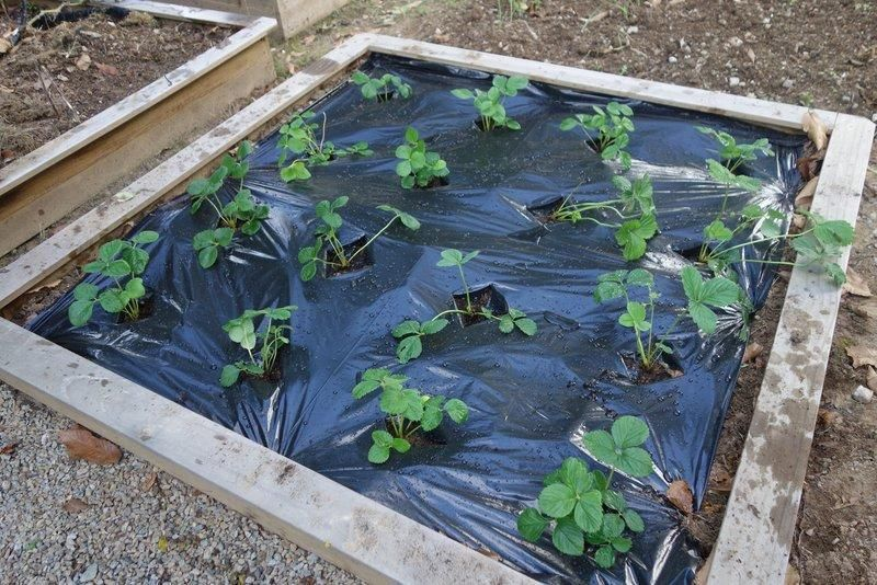 Planter des fraisiers sur film noir en carré potager