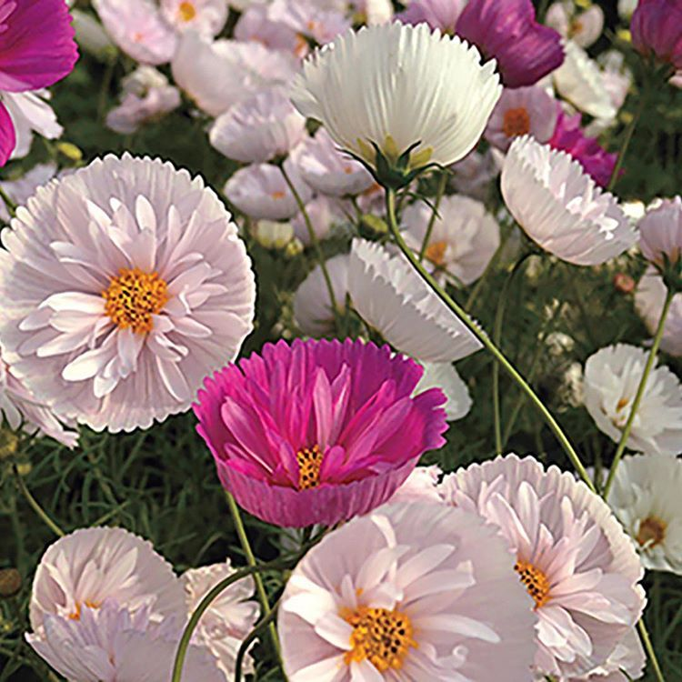 Cupcakes And Saucers Mix Cosmos Flower Seeds Cosmos Flowers Flower Landscape