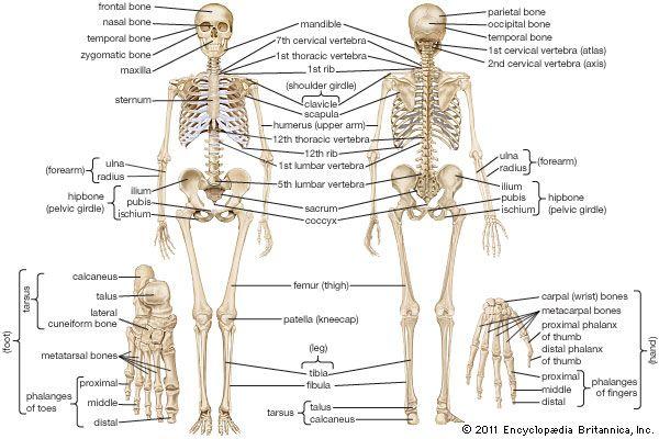 THE HUMAN BODY BONES | science | Pinterest