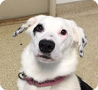 Eugene Or Border Collie Mix Meet Moxie A Puppy For Adoption Http Www Adoptapet Com Pet 17236001 Eugene Oregon Border Border Collie Mix Collie Mix Pets