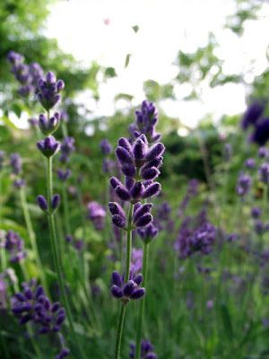 Understand The Different Types Of Lavender Lavender Plant Buy