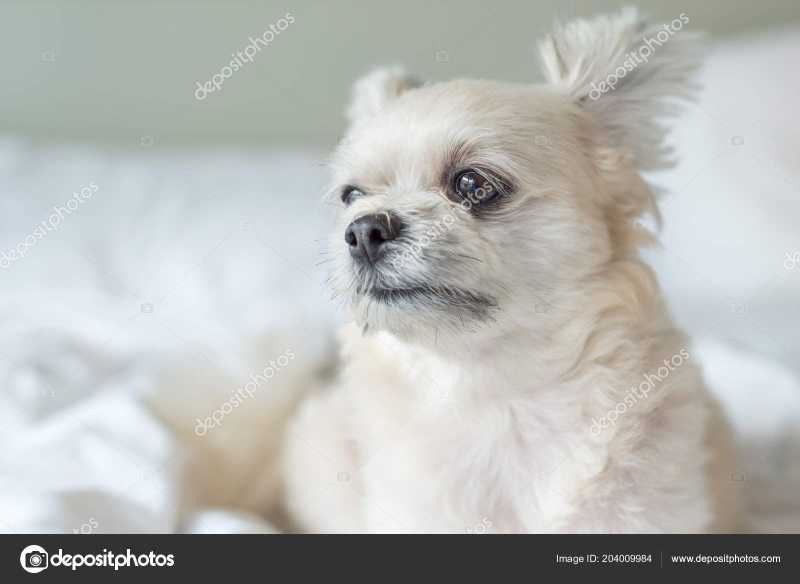 63+ Shih Tzu Cross With Poodle For Sale in 2020 Dog