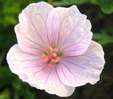 Geranium sanguineum vision light pink g h a z botanical name geranium sanguineum vision light pink g h a z botanical name flowers seeds mightylinksfo