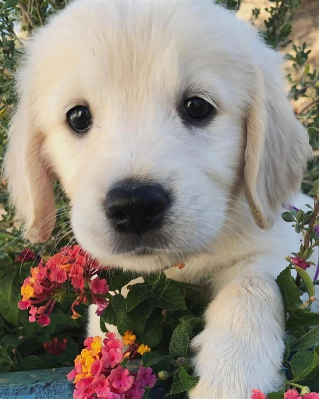 All About The Trustworthy Golden Retriever Dogs Grooming