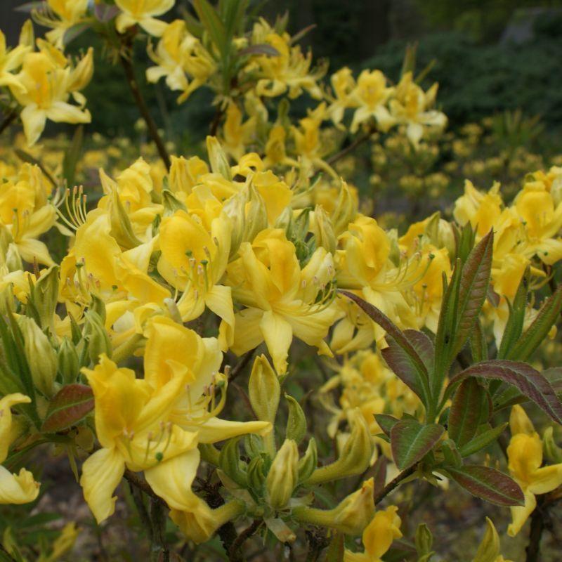Azalea Pontica Rhododendron Luteum Con Imagenes