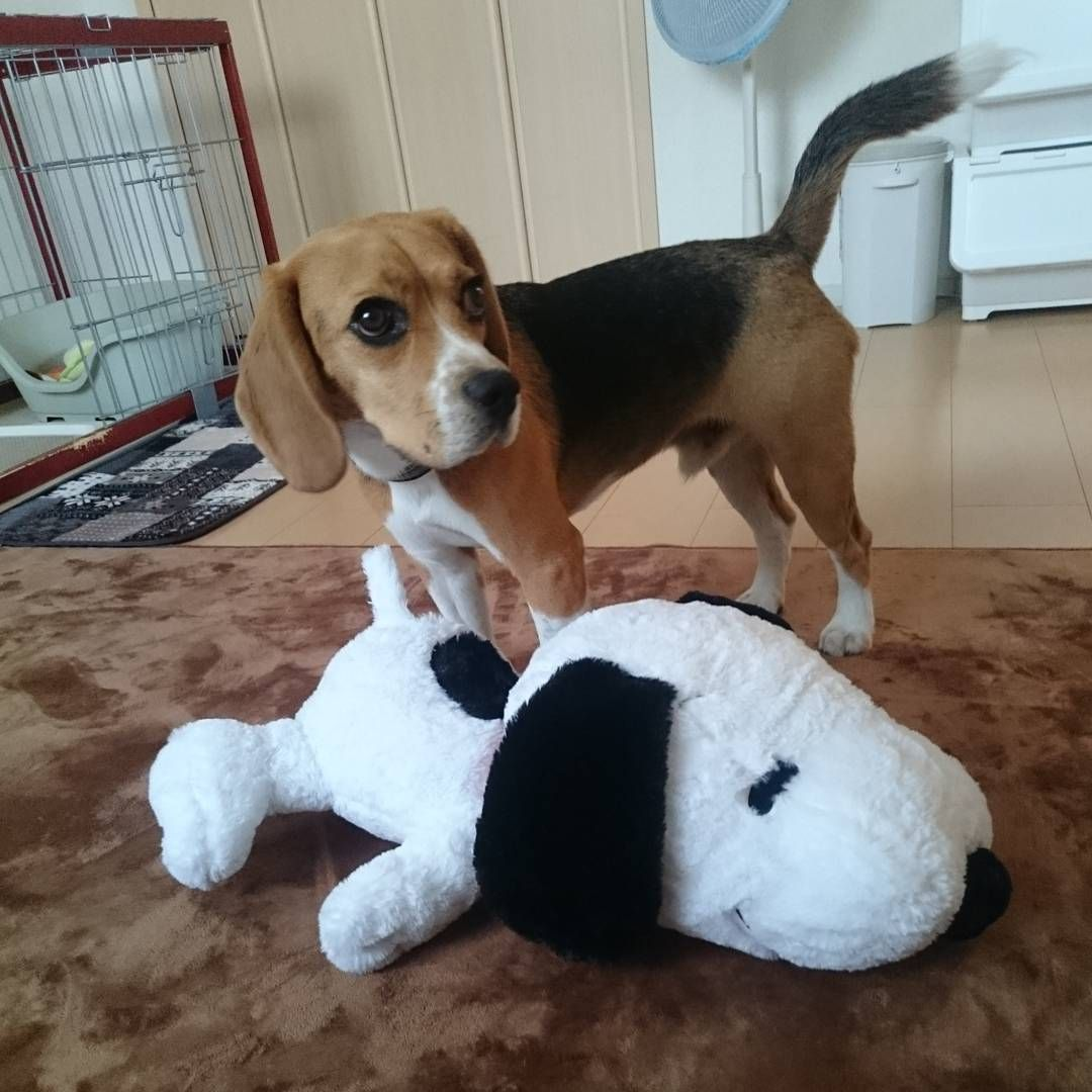 See This Instagram Photo By Huku0213 34 Likes Beagle Puppy
