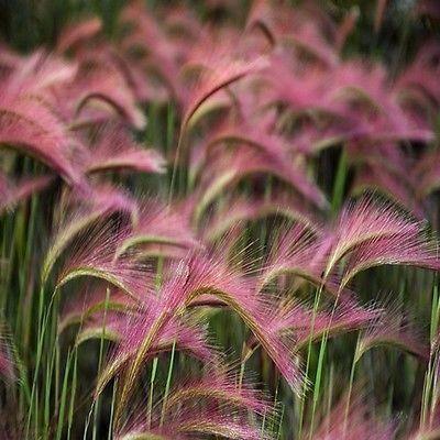 Pink Pampas Grass Seeds White Pampas Grass Seeds Cortaderia Sellona Fast Growing Ornamental Grass Seeds Perennial Flower Seeds Mit Bildern Ziergras Garten Garten Pflanzen