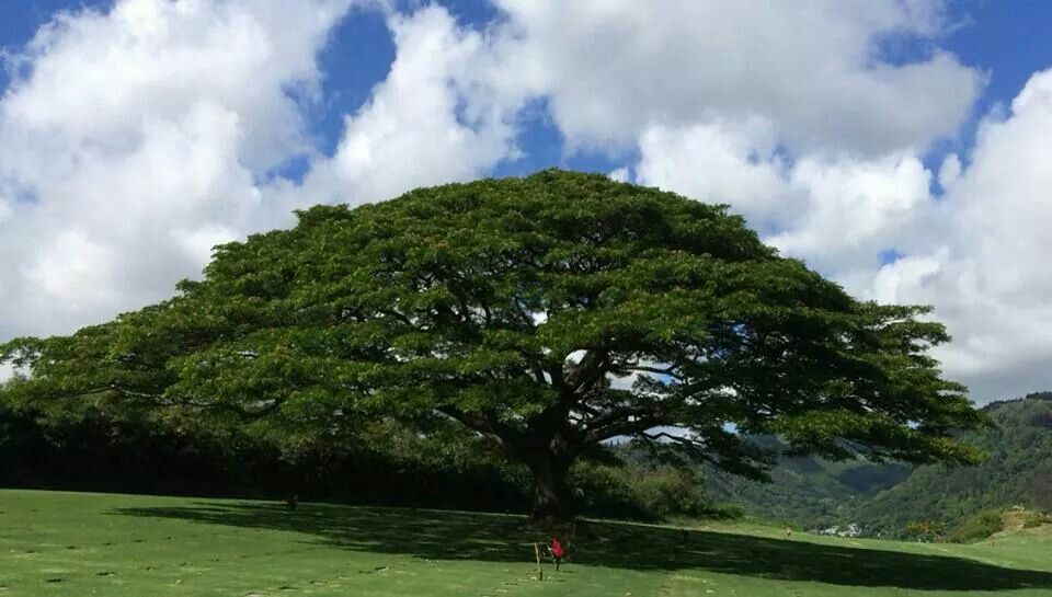 Brother of a friend is laid to rest under this beautiful Monkeypod tree at Punchbowl Cemetery.