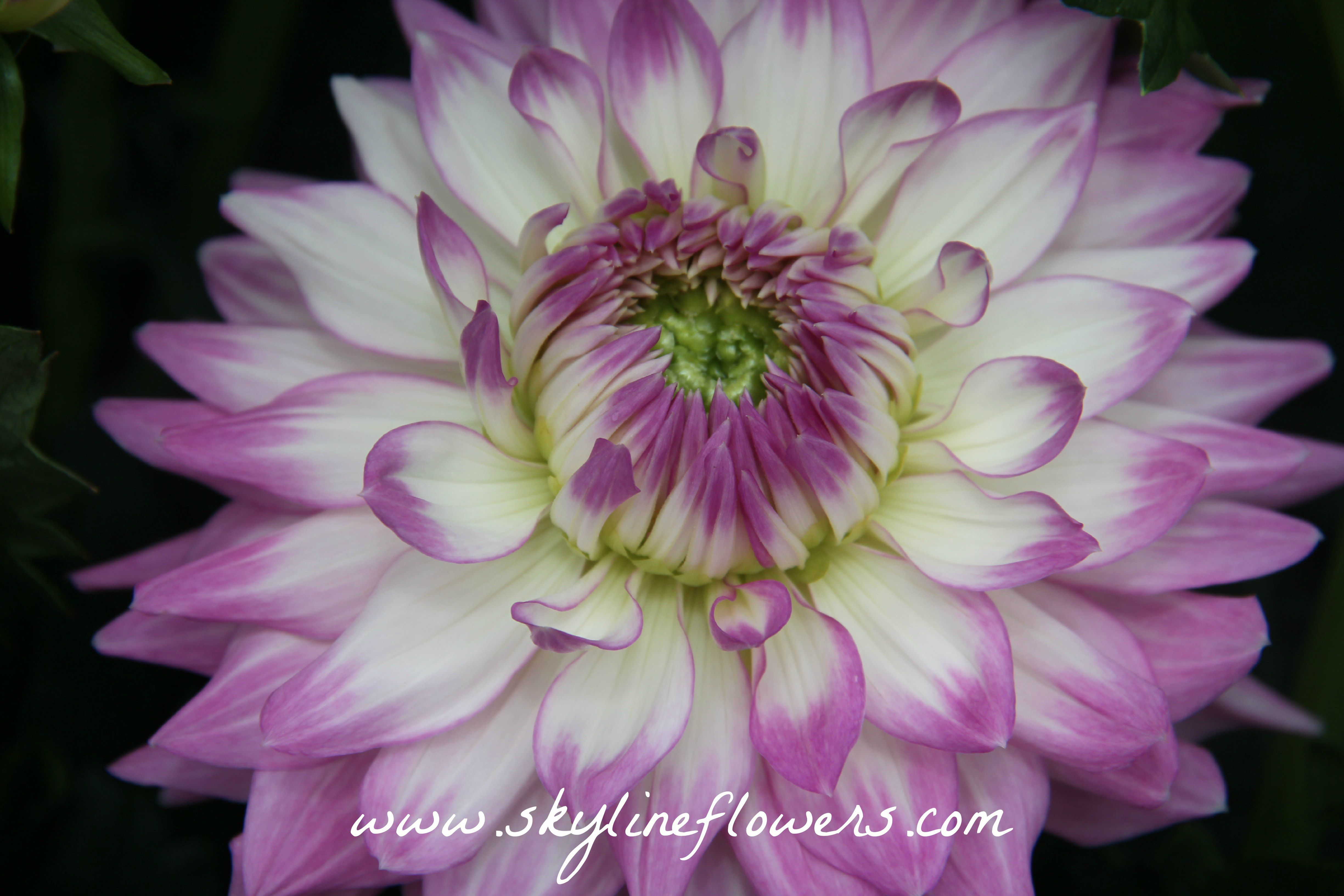 #dahlias #flowers #fun #happy #beautiful #gorgeous #pretty