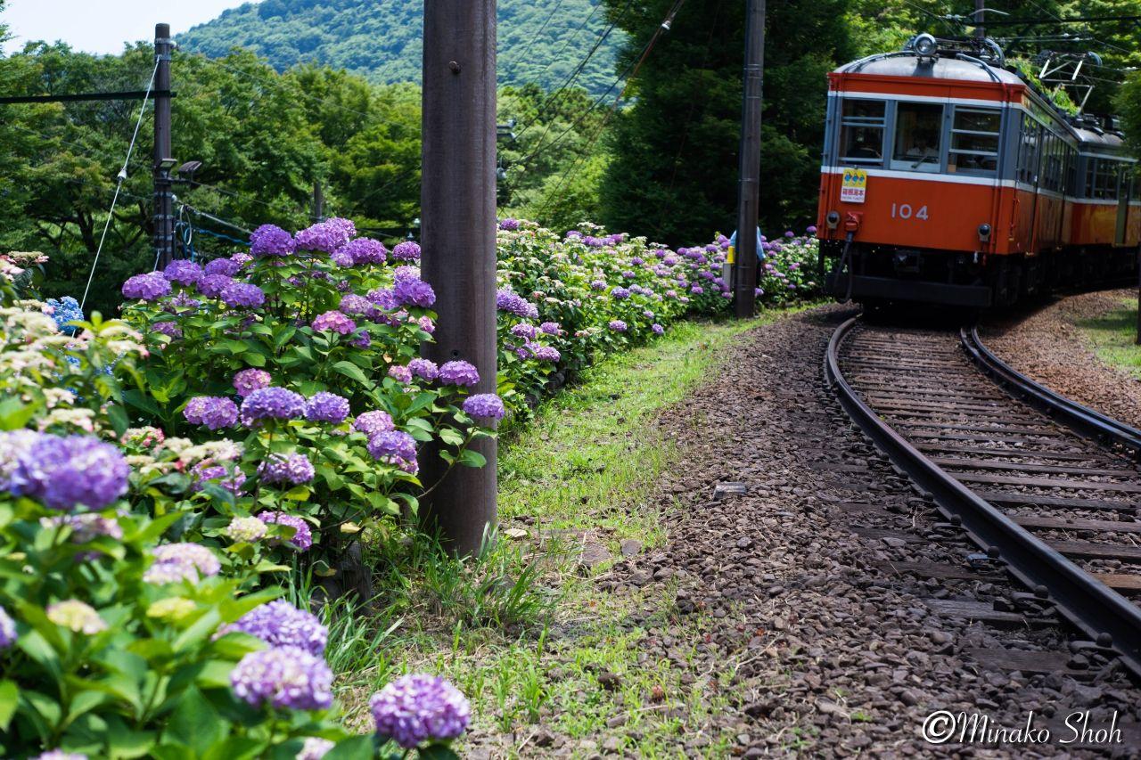 オールドレンズと巡る 紫陽花に染まる箱根登山鉄道 Hakone Tozan