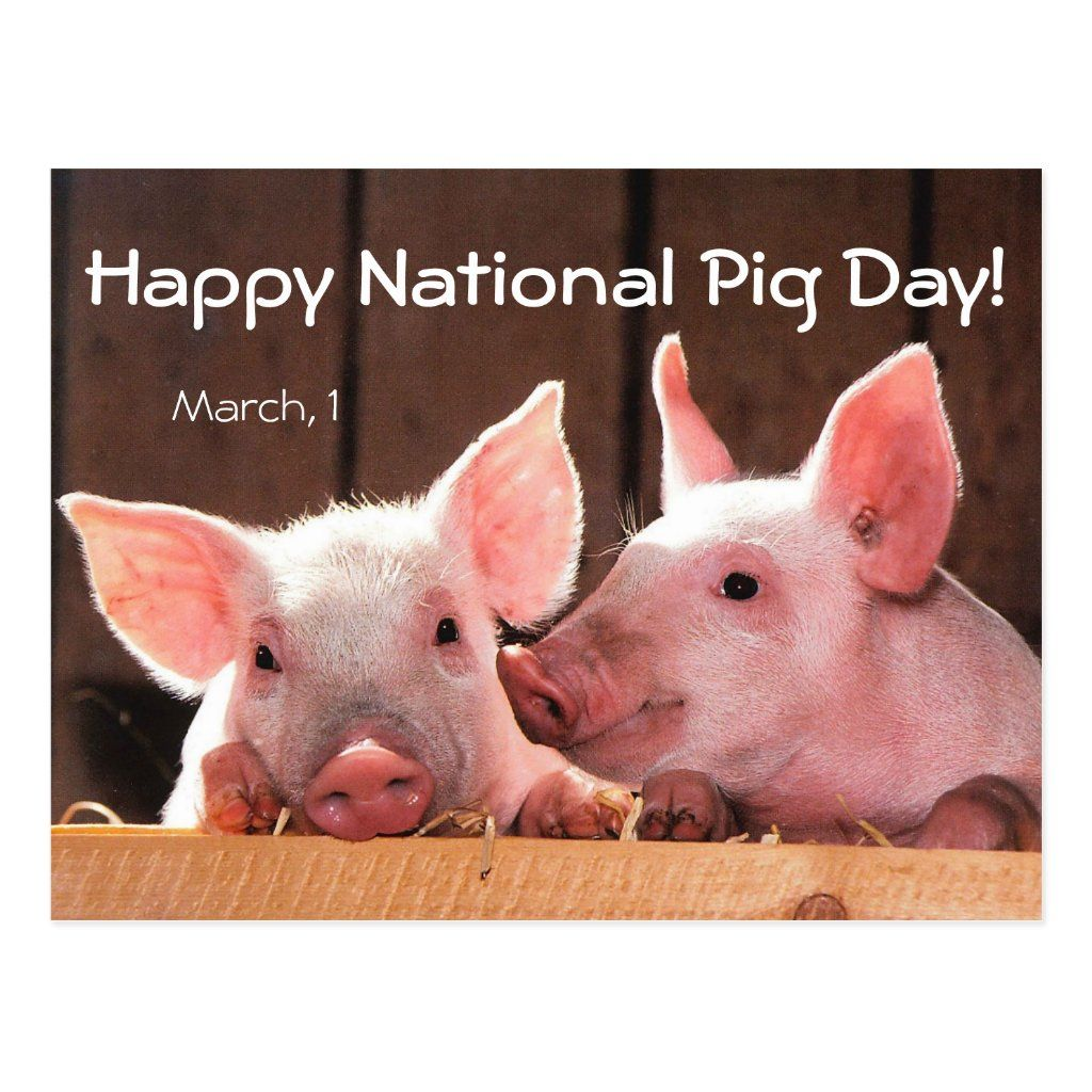Happy National Pig Day March 1 Postcard Zazzle Com In 2021 Funny Pigs Pig Memes Pig Quotes Funny