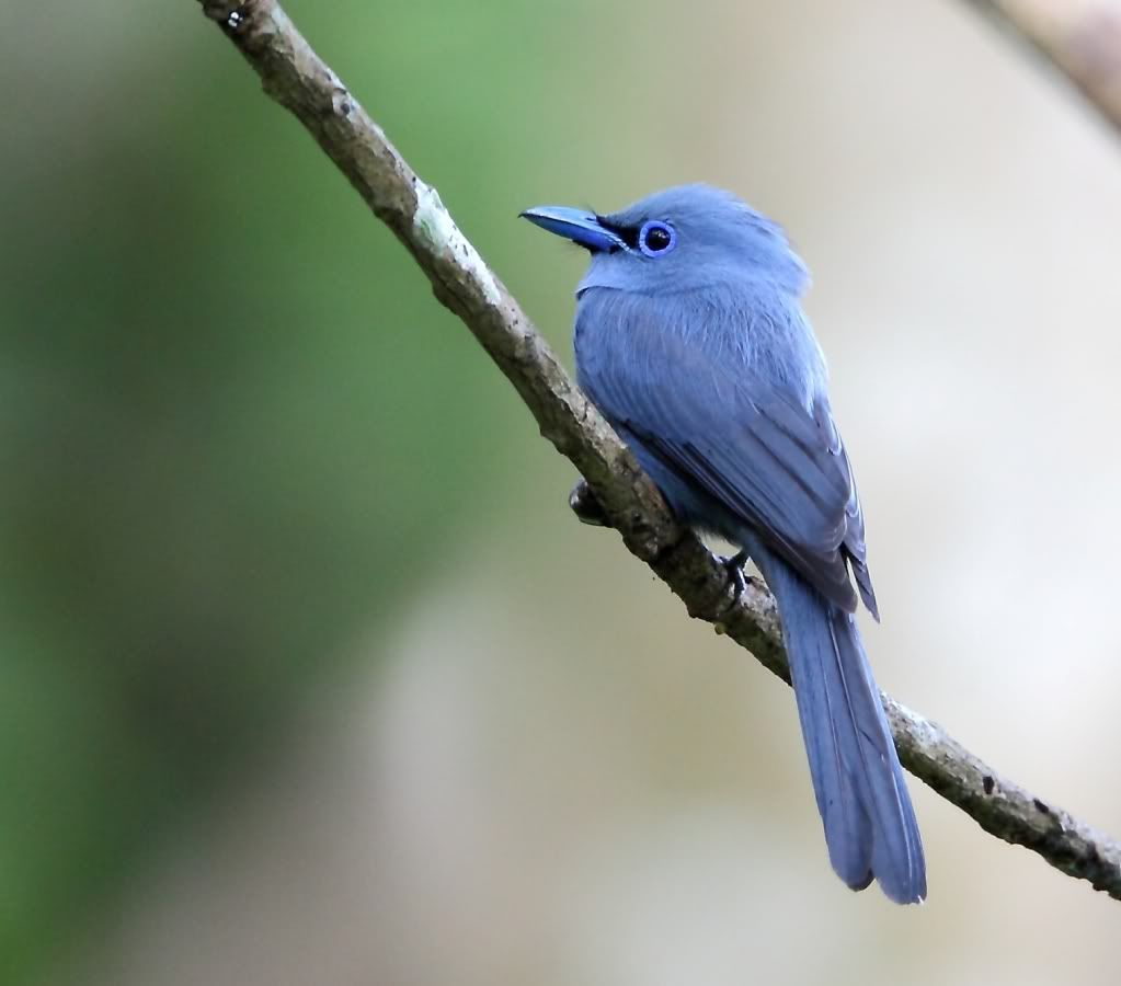 6039. Blue Paradise-Flycatcher (Terpsiphone cyanescens) | the Philippines