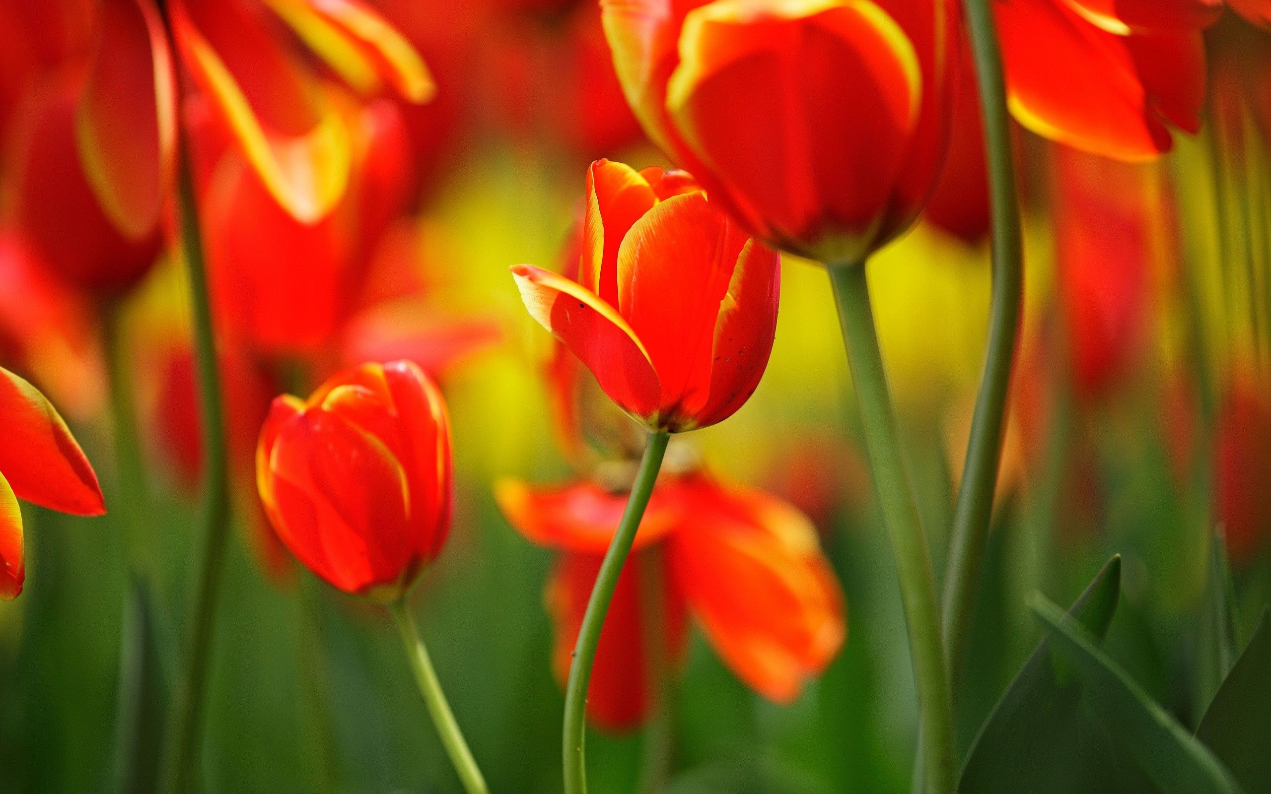 Red Orange Tulips Hd Desktop Wallpaper Hd Desktop Wallpaper Beautiful Flowers Wallpapers Orange Tulips Tulips