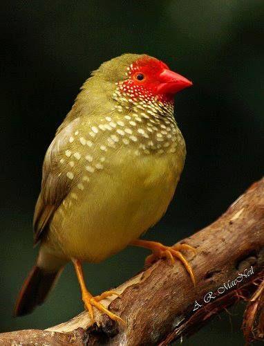 Star finch (Australia)